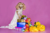 Chihuahua in a dress of the bride — Stock Photo