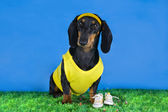 Dachshund in yellow on the grass — Stock Photo