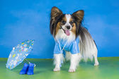 Papillon in a raincoat and an umbrella on a green background  — Stock Photo