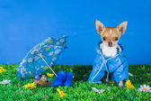 Chihuahua sitting on the grass — Stock Photo