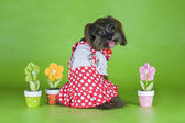 Dog Breed the Petersburg orchid in a dress on a green background — Stock Photo