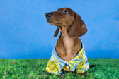 Dachshund wearing a shirt in the grass — Foto de Stock