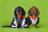 Friends dachshund in tails — Stock Photo