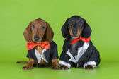 Friends dachshund in tails — Foto de Stock
