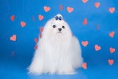 Maltese - an angel with love — Foto de Stock