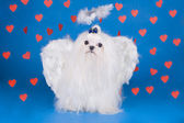 Maltese - an angel with love — Stock Photo