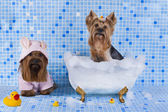 Yorkshire terriers are bathed in the bathroom — Stock Photo