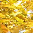 Stock Video: Yellowed maple tree
