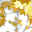 Stock Video: Maples in autumn