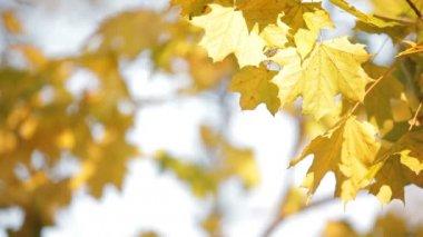 Maples in autumn — Stock Video
