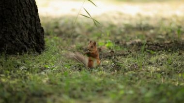 Cute squirrel. Chestnut forest squirrel looking for a meal on earth. — Stock Video