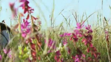 Girl in a field. Girl lies on the field of beautiful flowers of lilac and smiles. Moving camera. — Stock Video