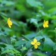 Flowers celandine. Beautiful green plants under heavy rain. Several flowers therapeutic celandine. Close-up. Tree Frame. — Stock Video