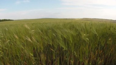 A field of wheat in spring. — Stock Video