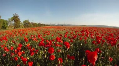 Field of blossoming poppies. — Stock Video