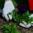 Close shot of a woman planting in her garden — Stok video