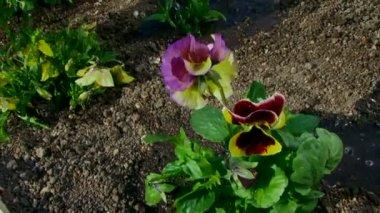 Regando las flores en un jardín — Vídeo de stock