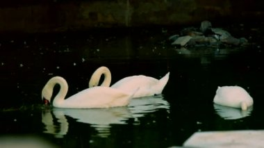 White swans. A beautiful white swans floating in the water. — Stock Video