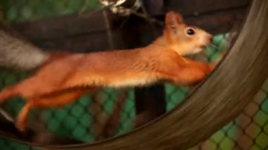Squirrel in captivity. Squirrel diligently runs on a wheel. Animals in captivity. — Stock Video