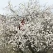 Couple having fun sitting in a tree. Cheerful couple fun at almond tree. With wood crumbles sets of petals. — Stock Video