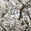Love couple sitting in a tree. Love couple sitting on a flowering almond tree. — Stock Video