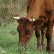 Cows pasturing — Stock Video