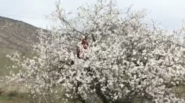 Couple having fun sitting in a tree. Cheerful couple fun at almond tree. With wood crumbles sets of petals. — Stock Video #18592177