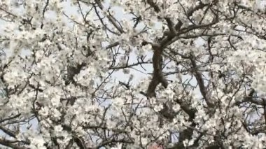Love couple sitting in a tree. Love couple sitting on a flowering almond tree. — Stock Video #18593931