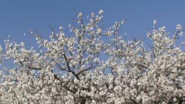 White Flower Trees — Stock Video