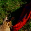 Close up. The puppy is played with a coverlet. — Stock Video