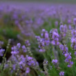 Beautiful lavender field. Beautiful flowering bushes of lavender. — Stock Video