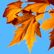 Autumn leaves. Autumn leaves yellow on a tree branch. Against the backdrop of the beautiful blue sky. — Stock Video