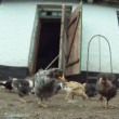 Funny chicken. A flock of chickens eating their food which lies on the floor. Close-up. Lovely chicks. — Stock Video