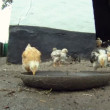 Stock Video: Cheesy chicken coop. A flock of chickens eating their food which lies on the floor. Close-up. Lovely chicks.