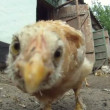 Stock Video: Cheesy chicken coop. flock of chickens eating their food which lies on floor. Close-up. Lovely chicks.