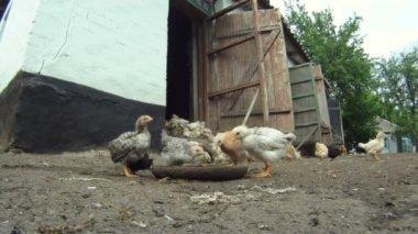 Cheesy Hühnerstall. eine Schar Hühner Essen ihre liegt auf dem Boden. close-up. schöne Küken. — Stockvideo