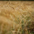 Wheat harvest. Ascending harvest of agricultural products. Wheaten cone close up. Change of focus from the foreground to the background. — Stock Video