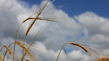 Cones of wheat against the sky. Ripened wheaten cones of golden colour against the beautiful blue sky. — Stock Video