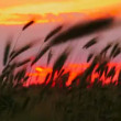 Sunset on the field. Beautiful fiery sunset on the background of wheat ears. — 图库视频影像