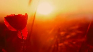 Fire flower. A beautiful red flower on a background of fiery sunset. — Stock Video