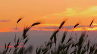 Sunset on the field. Beautiful fiery sunset on the background of wheat ears. — Stock Video