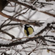 Stock Video: Titmouse On Snowy Tree HD