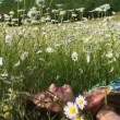 Stock Video: Among Daisies. Close-up