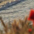 Poppies Near The Sea — Stock Video