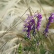 Stock Video: Lonely wildflower among feather grass. Wildflower.