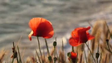 Poppies Near The Sea — Stock Video
