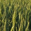 Green agricultural field of wheat. Farm field in spring. — Stock Video