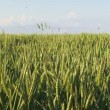 Green agricultural field of wheat — Stock Video