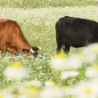 Stock Video: Cows In A Field Of Daisies