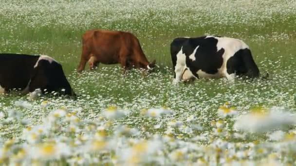 Vaches dans un champ de marguerites — Vidéo